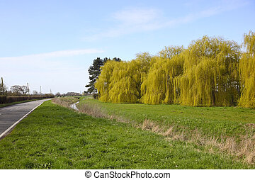 willows in springtime - a row of golden weeping willows by...
