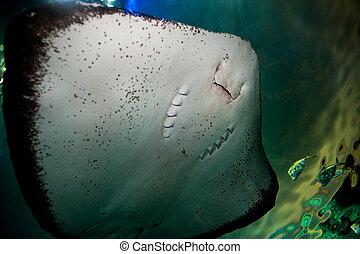 Stingray - Extreme close-up image of Stingray