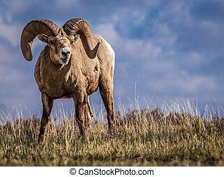 sheep, grande, meridional, cuerno, salvaje,  Alberta