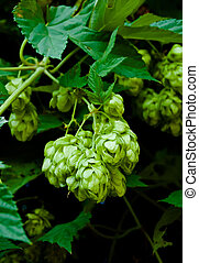 Cones of green hop on a branch