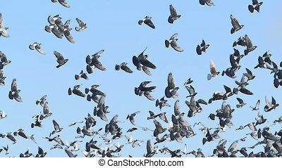 flock of dove pigeons sky birds fly against blue slow motion...