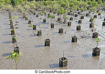 Young plantation field at mangrove - Rows of young...