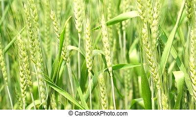 Green field of barley farm in sunlight