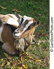 goat - Funny young goat looking at the camera