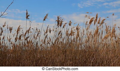 Reed tips moving in wind during spring with a blue sky sunny...