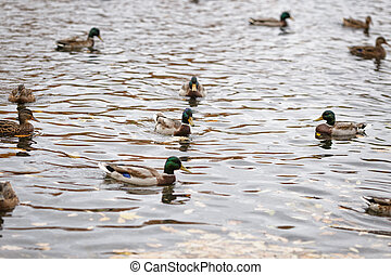 many ducks swimming in lake or pond, cloudy weather