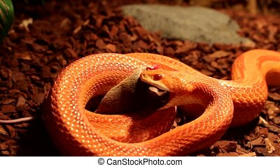 Snake eats a brown mouse - Red Orange albino Snake eats a...