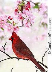 Cardinal Amid Spring Tree Blossoms - Beautiful red Cardinal...