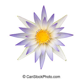 Blue lotus or Blue water lily isolated on white background