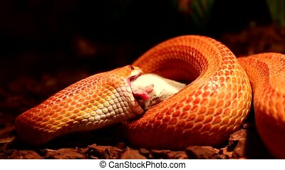 Snake eats a brown mouse - Red / Orange albino Snake eats a...