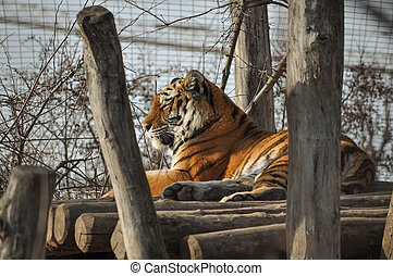 Tiger mammal animal
