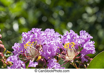 Crape myrtle flowers - Purple crape myrtle flowers in front...