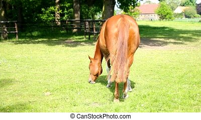 A brown horse is eating grass