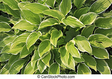 Hosta commonly known as hostas, plantain lilies - Hosta...