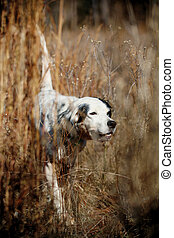 Dog Assists In Bird Hunting - A pionter walks through the...