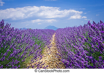 Lavender fields of Provence - Beautiful fragrant lavender...