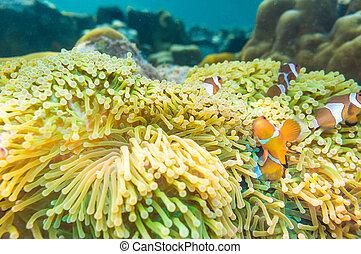 Nemo fish with host anemone, Clown Anemonefish