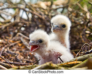 White fluffy Chicks of Hobby - very unsimilar to terrible...
