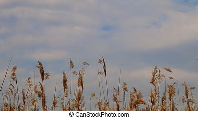Reed tips moving in wind during spring