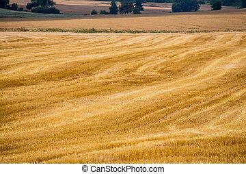 cornfield in summer - a field of grain in summer harvest in...