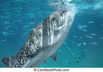 Whale shark - Swimming with whale shark in tropical sea