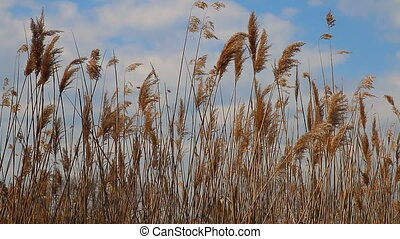 Reed tips moving in wind during spr