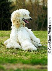Dog Afghan Hound - beautiful fawn Afghan hound dog lying on...