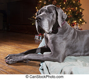 Blue Great Dane - Great Dane that is grey laying next to a...