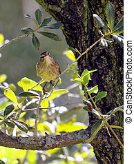Palm Warbler on Tree Branch - Migratory Palm Warbler bird...
