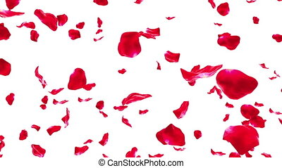 Rose Petals Falling on White -Loop