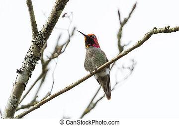Annas Hummingbird - Male Annas Hummingbird sitting on a...