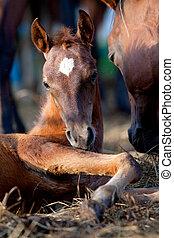 Chestnut foal lying down - Chestnut Arabian foal lying down