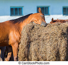 Bay horse scratching on hay