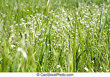 Close up of green grass - Background of Close up of green...
