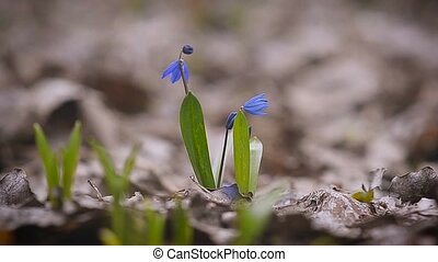 Blue snowdrop spring flower close up - Blue snowdrop spring...