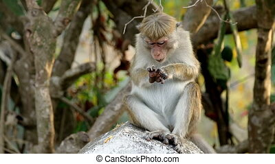 one monkey in Sri-Lanka - lonley big Monkey in island,...