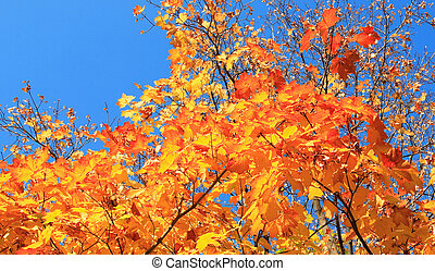 yellow leafs on tree , gold fall, september