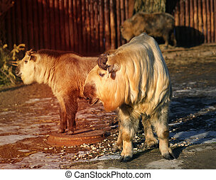 Photo beautiful Takin - Photo beautiful fluffy golden...