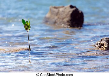 Mangrove tree sprout emerging for the tropical sea