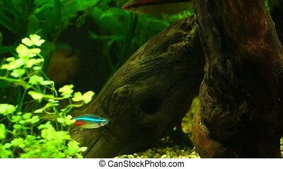 Video aquarium fish swimming in a large aquarium - footage...