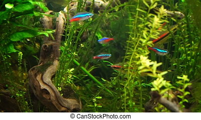 Video aquarium fish swimming in a large aquarium - footage...