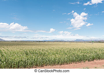 Center pivot irrigation system in corn field - A center...