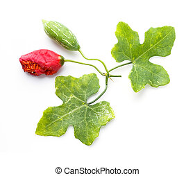 Ivy gourd - Close up Ivy gourd fruit and leaf isolated on...