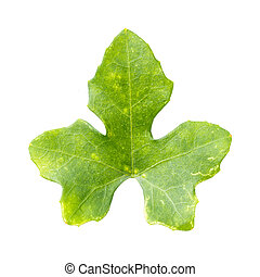 Ivy gourd - Close up Ivy gourd leaf isolated on white