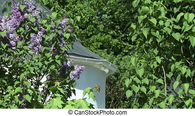 View of lilac bush and church in background - Close-up view...