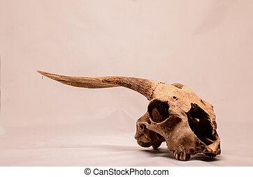seco, Goat, cráneo, con, grande,