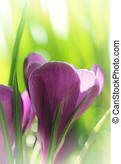 Spring crocus flowers