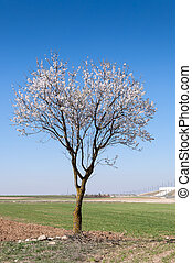 An almond tree in blossom in an agricultural landscape in...
