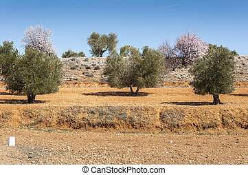 Olive groves and almond trees in an agricultural landscape...