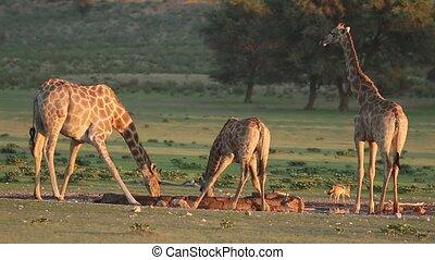 Giraffes drinking water - Giraffes Giraffa camelopardalis...